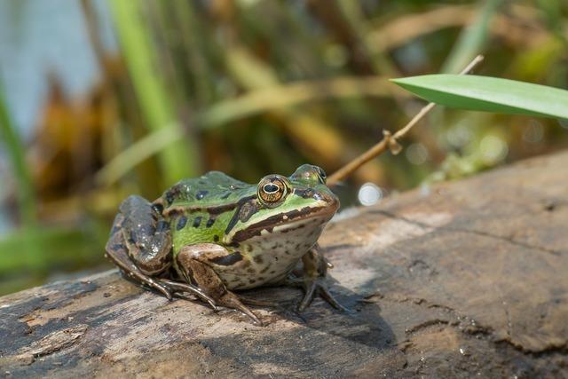 water-frog-2112212_1280.jpg